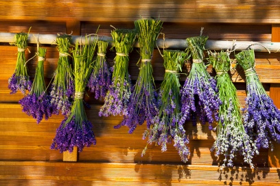 Scented Bunch of lavender hung out to dry on a wooden wall in the garden